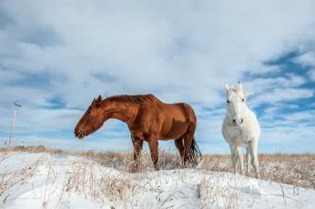 обоя животные, лошади, снег