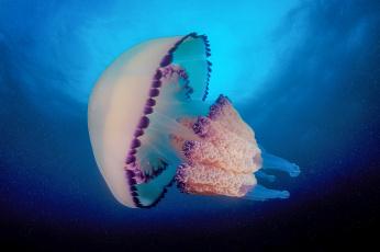 обоя животные, медузы, подводный, мир, медуза, океан, море