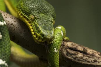 обоя животные, змеи,  питоны,  кобры, змея