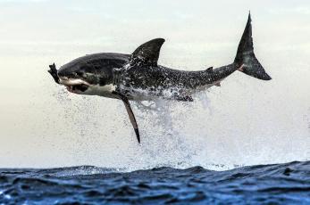 обоя животные, акулы, челюсти, хищник, рыба, вода, акула, shark, охота