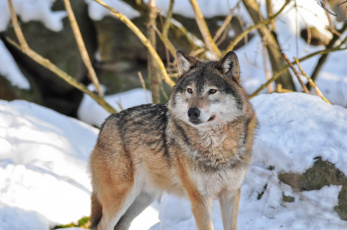 обоя животные, волки,  койоты,  шакалы, волк