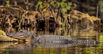 обоя животные, крокодилы, крокодил
