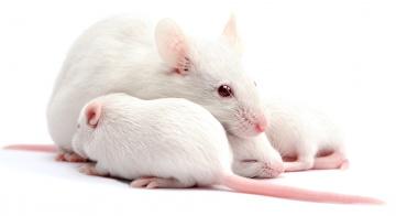обоя животные, крысы,  мыши, домашняя, белая, крыса, мама, малыши, макро, семья