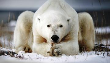 обоя животные, медведи, медведь, белый, полярный, снег