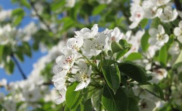 обоя цветы, цветущие деревья ,  кустарники, ветка