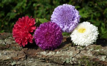 обоя цветы, астры, четверка