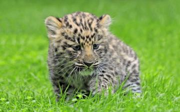 обоя животные, леопарды, леопард, детеныш, котенок, трава, амурский