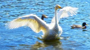 Картинка рисованные животные +птицы +лебеди лебедь озеро утки
