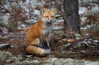 обоя животные, лисы, лес, взгляд, лиса