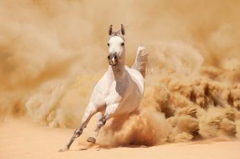 обоя животные, лошади, песок, пыль, белый, конь, лошадь