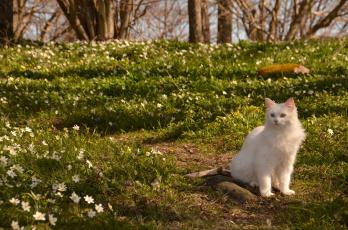 обоя животные, коты, природа, весна, кот, ветреница, цветы, кошка