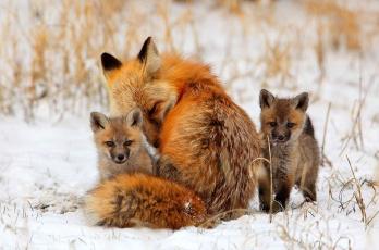 обоя животные, лисы, поле, снег, трава, лисята, лиса