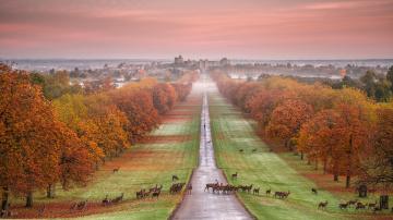 обоя животные, олени, виндзорский, замок, виндзор, графство, беркшир, англия, осень, дорога, газон, закат, пейзаж