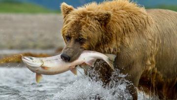 Картинка животные медведи медведь улов