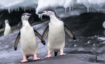 обоя животные, пингвины, сосульки, камни, лед, пара, птицы