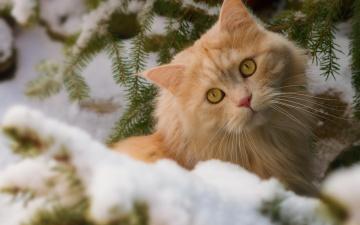обоя животные, коты, снег, взгляд, рыжий, кот, зима, кошка, ветки, мордочка