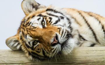 обоя животные, тигры, тигр, амурский, голова, бревно