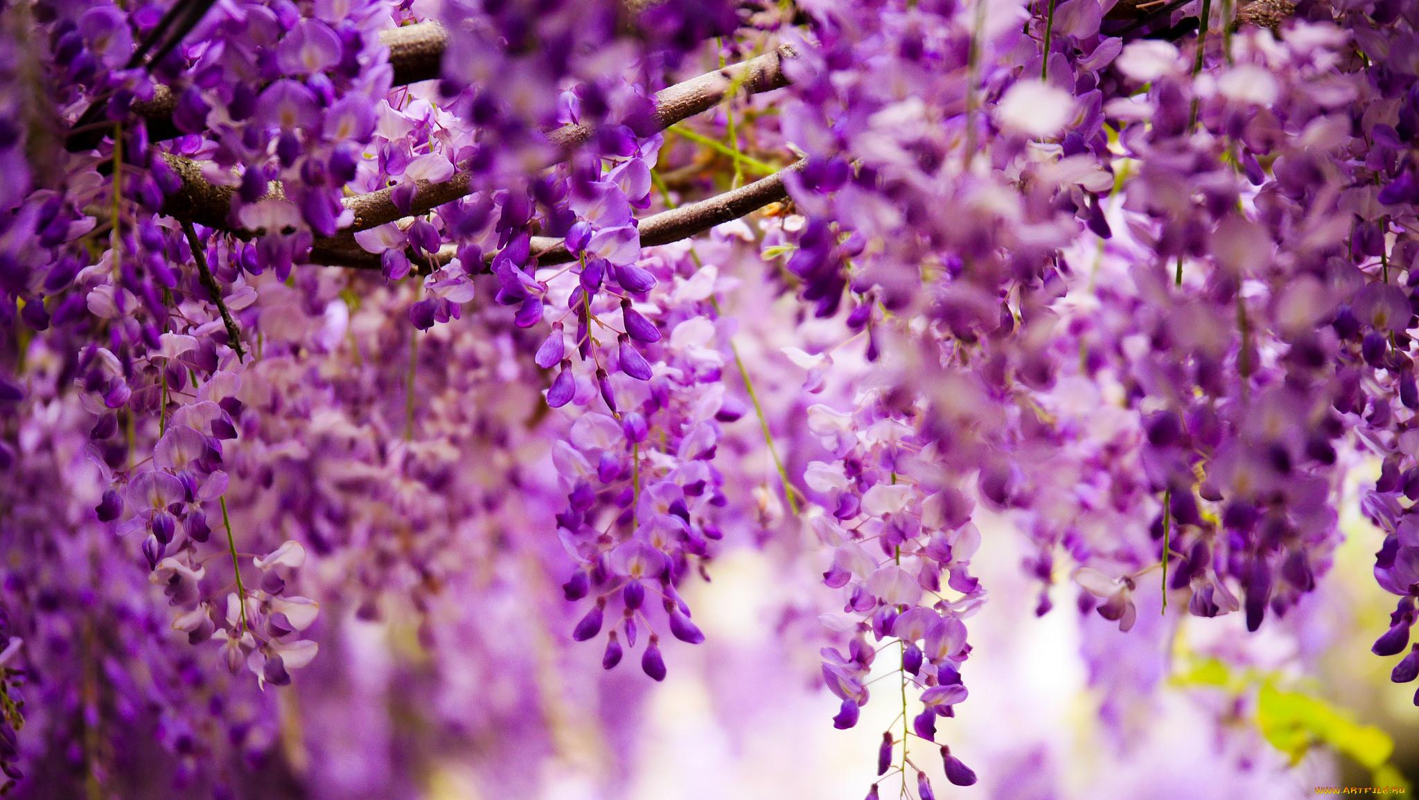 глициния, весна, цветы без смс