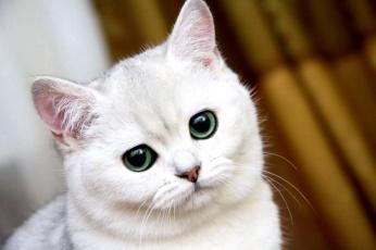 Картинка животные коты взгляд белая кот кошка
