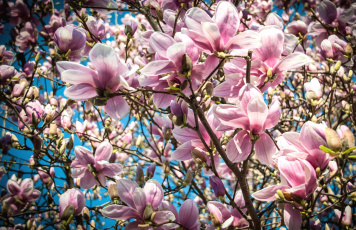 обоя цветы, магнолии, макро, весна, дерево, магнолия, розовый