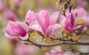 обоя цветы, магнолии, макро, весна, розовый, ветка, магнолия