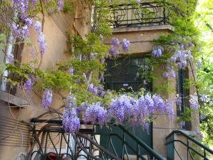 Картинка болгария цветы глициния старый дом