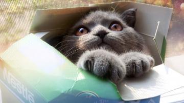Картинка животные коты глаза коробка морда лапы серый кот кошка взгляд