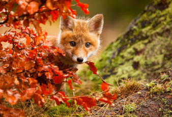 обоя животные, лисы, осень, лисенок, листва, лиса, лис