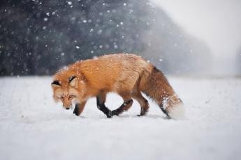 обоя животные, лисы, снег, взгляд, боке, зима, лис, лиса