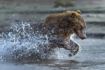обоя животные, медведи, бег, медведь, вода, брызги