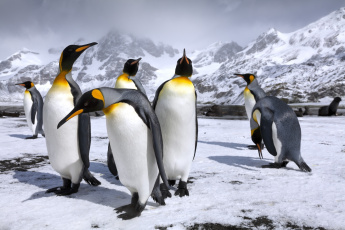обоя животные, пингвины, снег, королевские, пингвин, горы