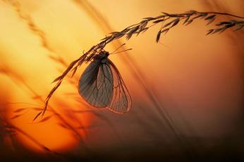 Картинка животные бабочки +мотыльки +моли бабочка закат макро свет солнце трава
