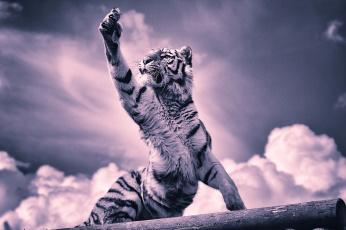 обоя животные, тигры, лапа, когти, тигренок, тигр, облака