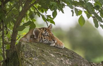 обоя животные, тигры, тигр, дерево, камень, тигрёнок