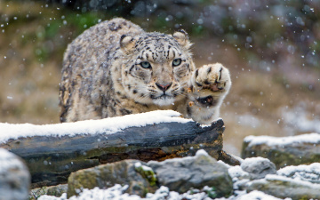 обоя животные, снежный барс , ирбис, взгляд, зоопарк, камни, зима, снегопад, дикие, кошки, снег, барс, бревно, снежный, лапа