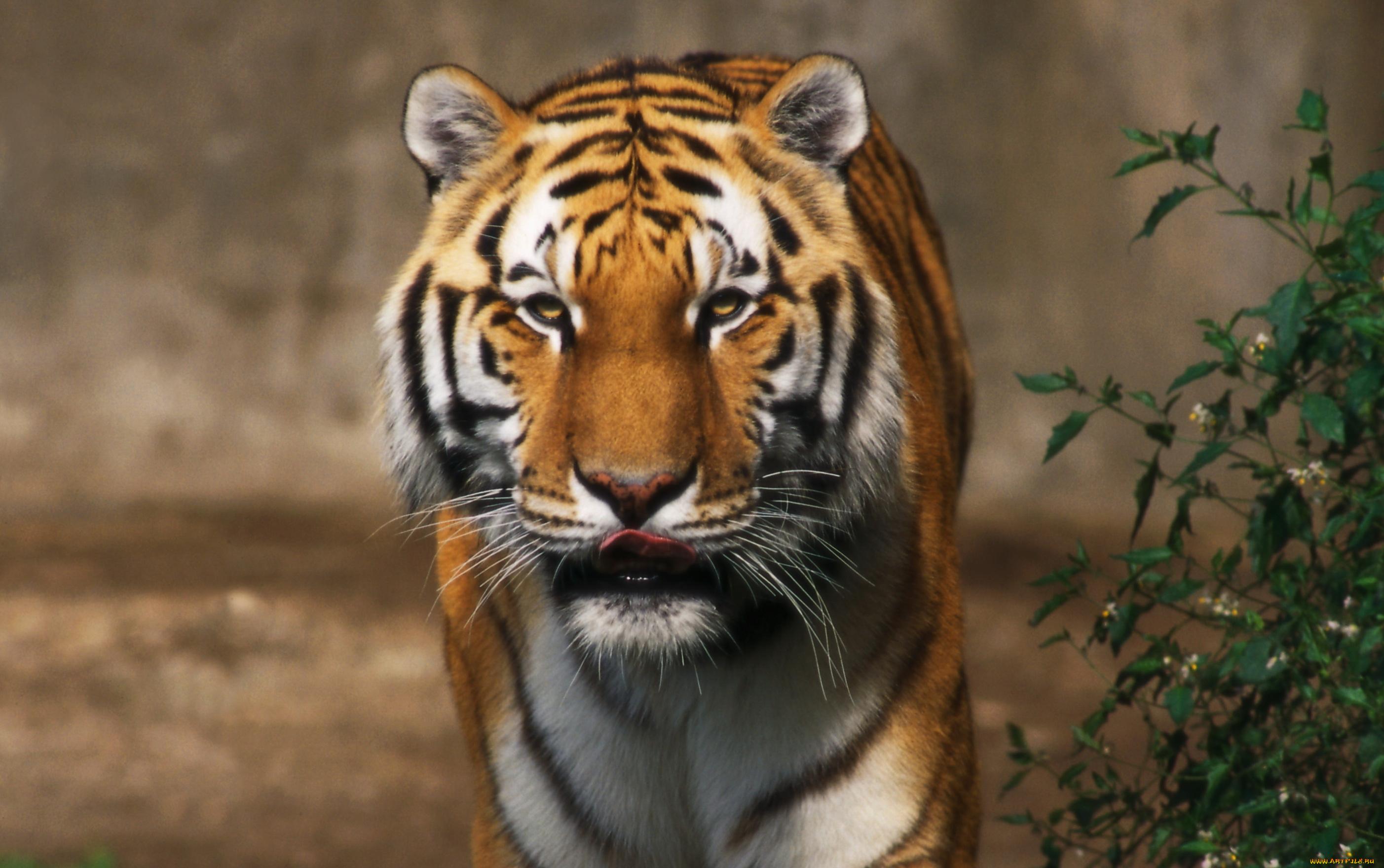 Юбилеем, картинки о тиграх и львах