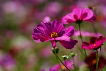 Картинка цветы космея малиновый