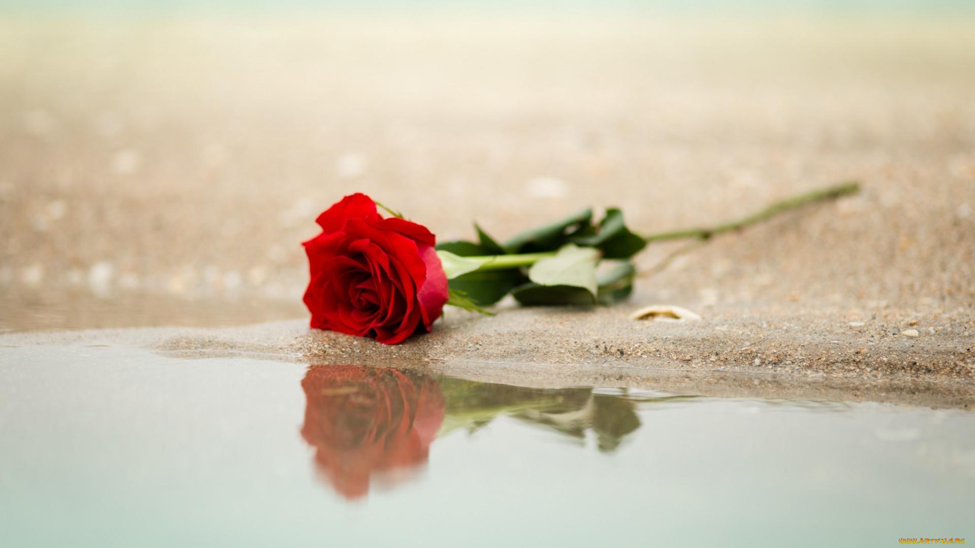 Открытки, одинокая роза картинки