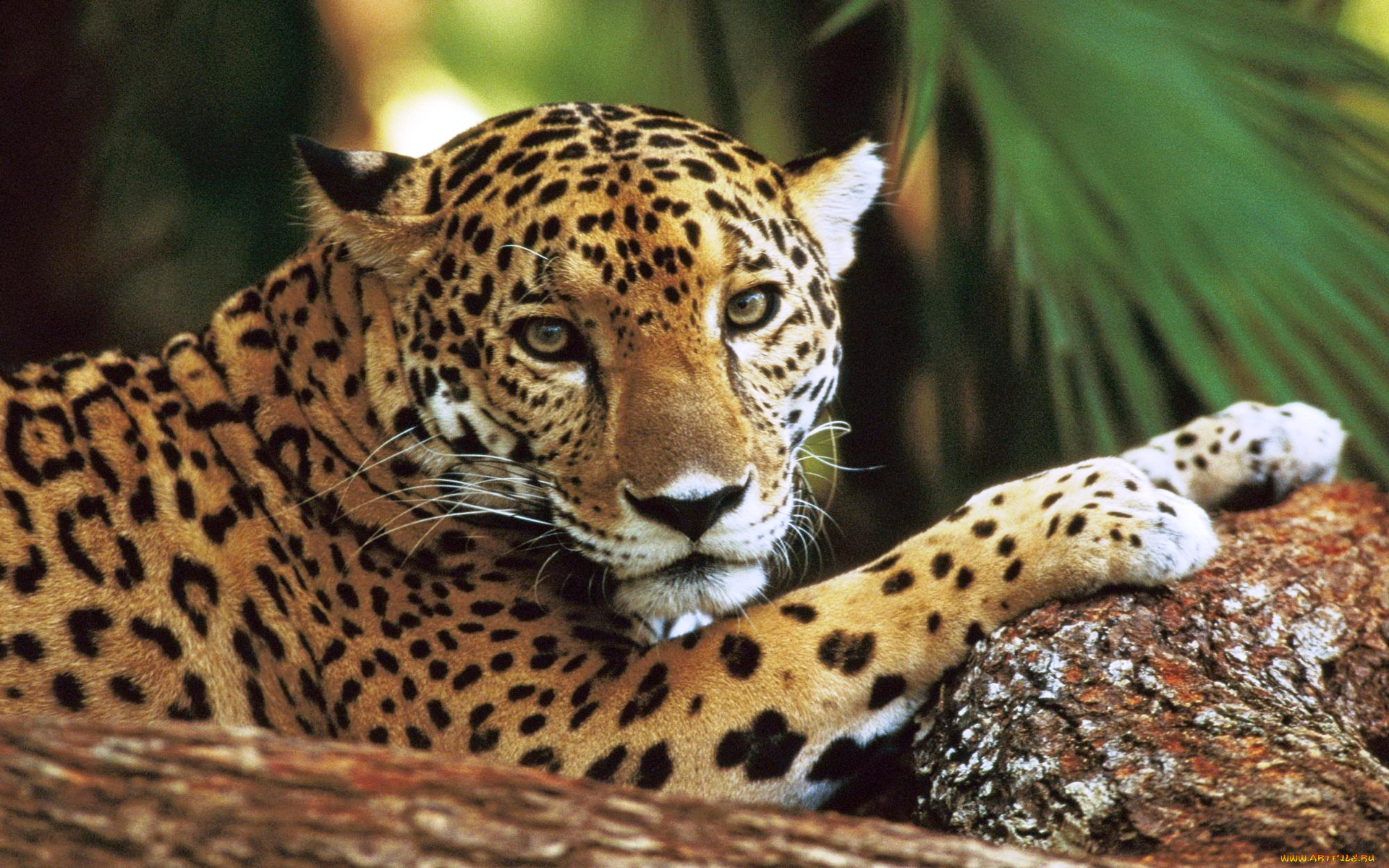 Ягуар хищник взгляд камни  № 3657942 бесплатно
