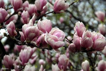 обоя цветы, магнолии, розовый, бутоны