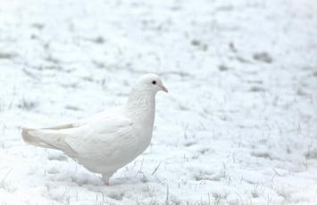 Картинка животные голуби голубь снег