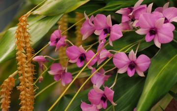 Картинка цветы орхидеи дендробиум фаленопсис дендрохилум кобба