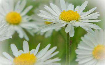 обоя цветы, ромашки, макро, боке