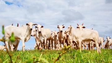 Картинка животные коровы +буйволы телки бычки стадо пастбище луг трава зебу