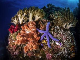 обоя животные, морские звёзды, кораллы, морская, звезда, море