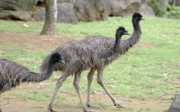 Картинка эму животные страусы поляна камни