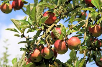 Картинка природа плоды листья ветки дерево яблоки