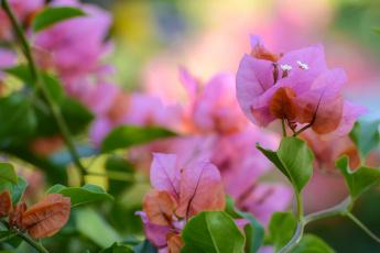 Картинка цветы бугенвиллея розовый