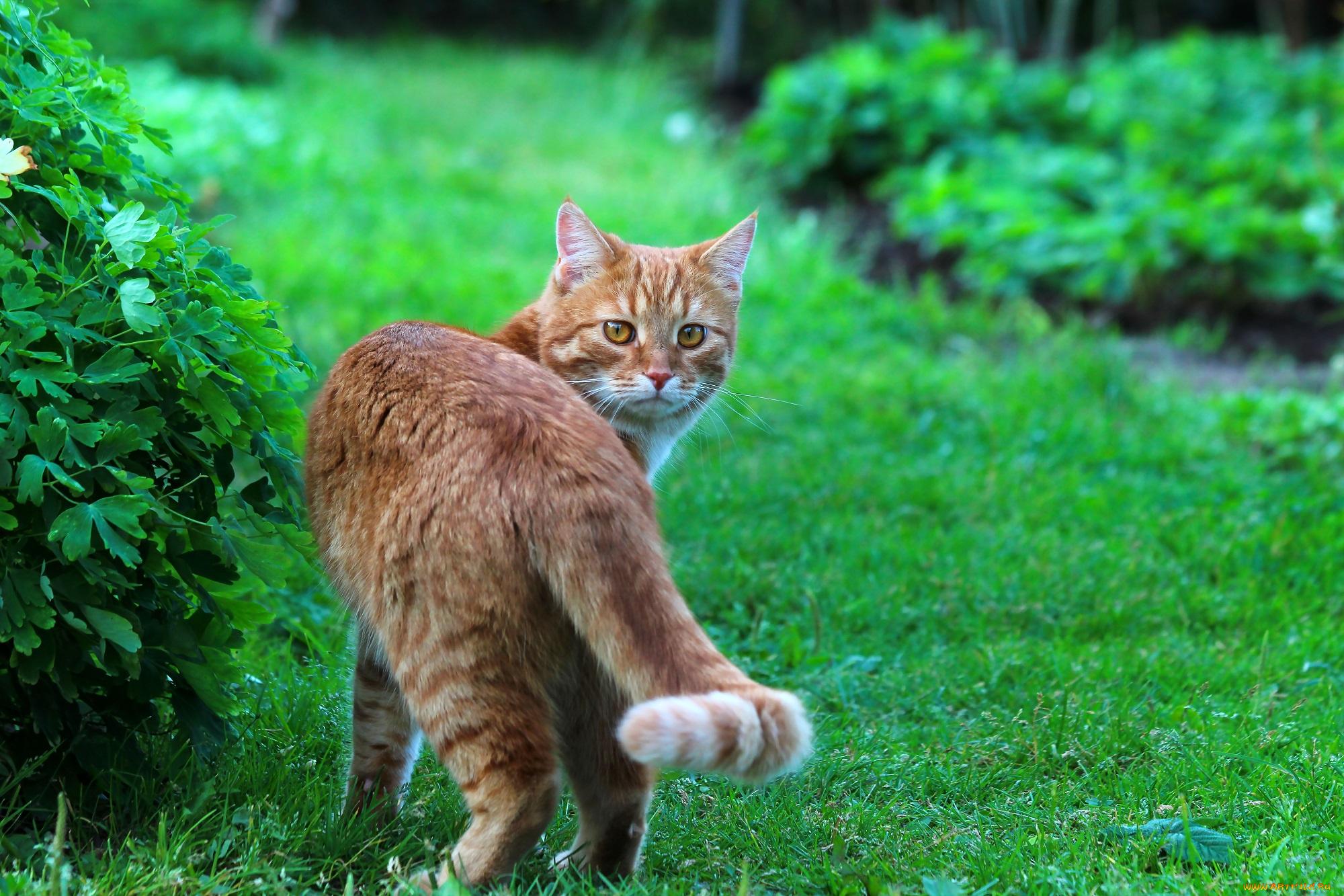 природа животные рыжий кот  № 941102 бесплатно