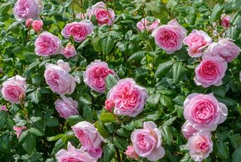 Картинка цветы розы куст розовый